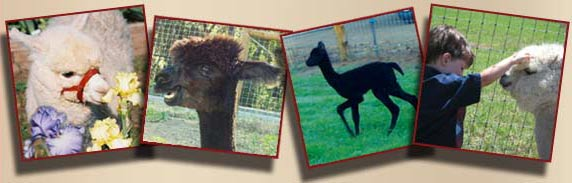 Alpacas in California