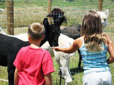 Kids Feeding Alpacas in CA