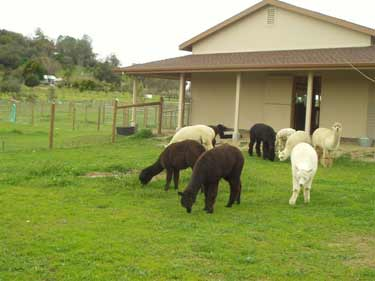 Alpacas in CA
